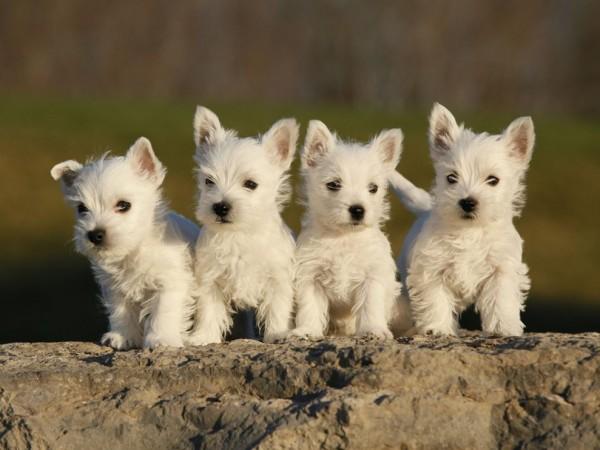 5 cuidados para perros de raza pequeña - Consejos para tu ...