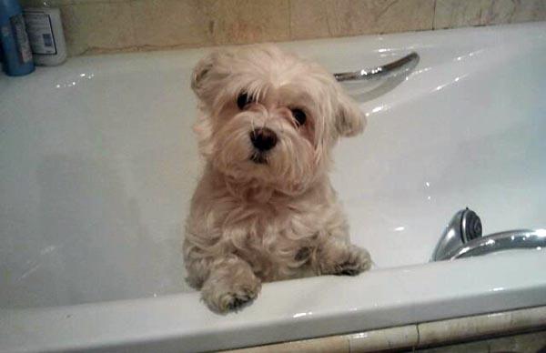 Cada cuando se debe ba ar a nuestro perro - Cada cuanto banar a un perro ...